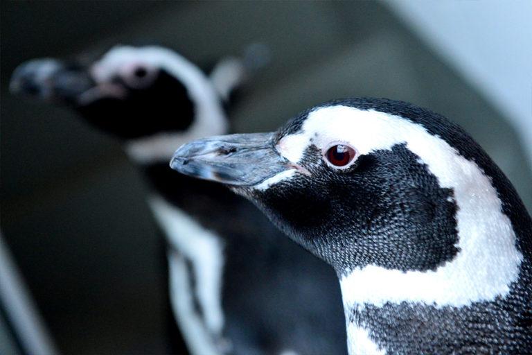 aquarium-wilhelmshaven-neu-magelan-pinguin