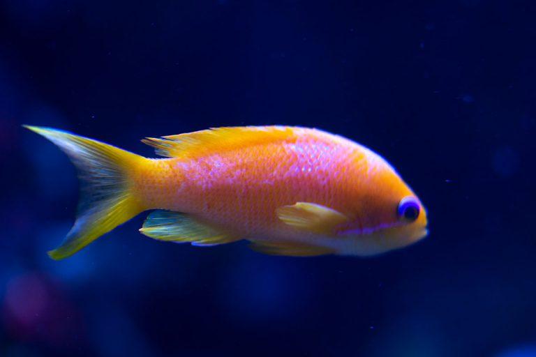 Fisch Südsee
